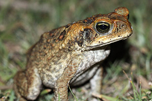 Cane toad - image courtesy of Deborah Metters