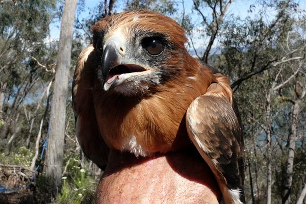Little Eagle chick