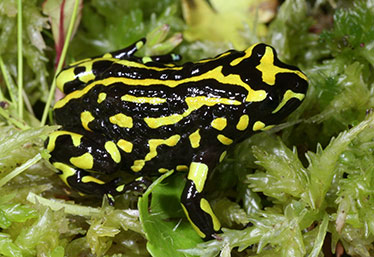 Photo of Northern Corroboree Frog