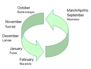 Lifecycle diagram of the Elm Leaf Beetle. The beetle hibernates from March to September, lays eggs in November and new beetles emerge in October.