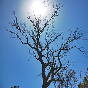 Tree dying from dieback