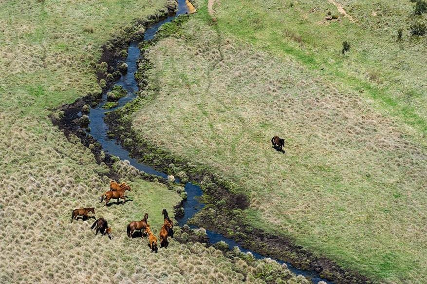 Feral horses on Chance Creek, Kosciuszko National Park (Photo credit NSW Government)