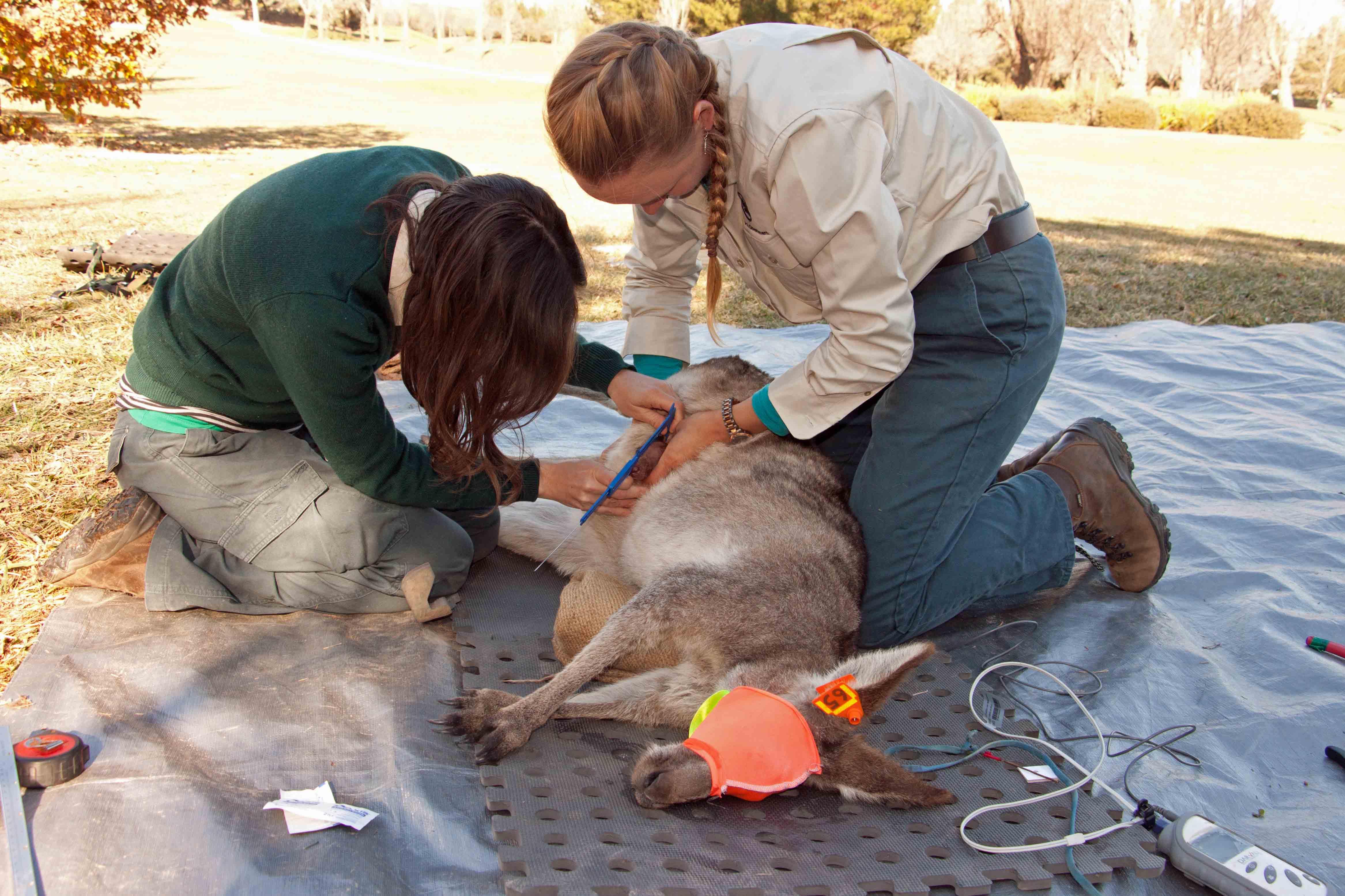 Kangaroo being prepared for immunisation
