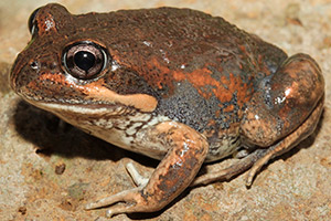 Eastern Banjo Frog - image courtesy of Nick Volpe