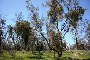 Mistletoe infestation