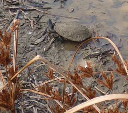 long_necked_tortoise