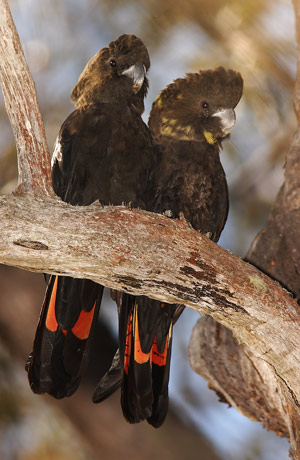 Male and female glossy black-cockatoos