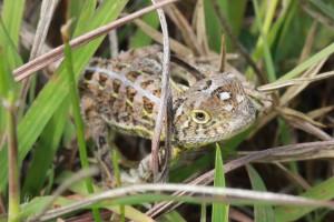 Grassland earless dragon