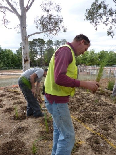 Planting native grasses species - Poa and Themeda