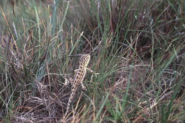 Grassland Earless Dragon in Tussock
