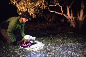 A ranger releasing a bettong into woodland at night.