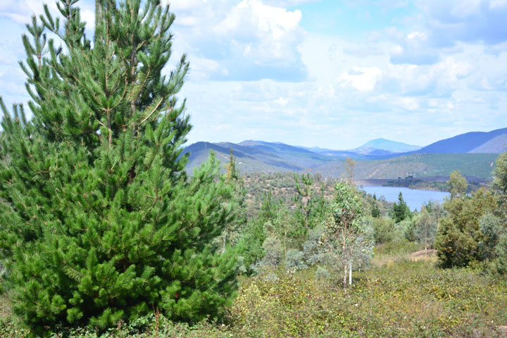 Pine Wildings