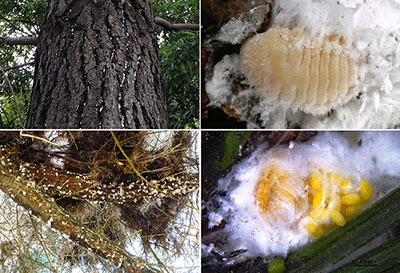 Four images of Giant Pine Scale - top left image shows the pest growing on a tree trunk, top right shows and adult Giant Pine Scale, Bottom left shows pest growing on a tree branch, Bottom right show an image of Giant Pine Scale eggs
